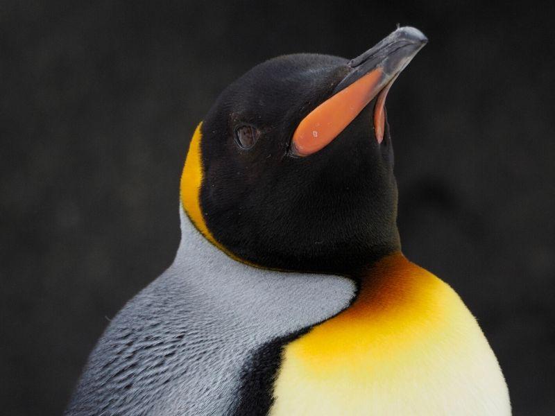 コウテイペンギン クチバシ 眼