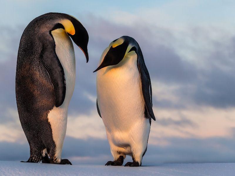 コウテイペンギン(エンペラーペンギン)の特徴