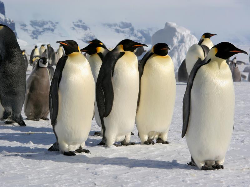 コウテイペンギン 体長・体重・身体の特徴について