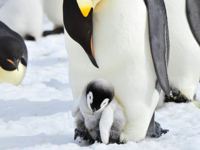 コウテイペンギン 育雛 巣立