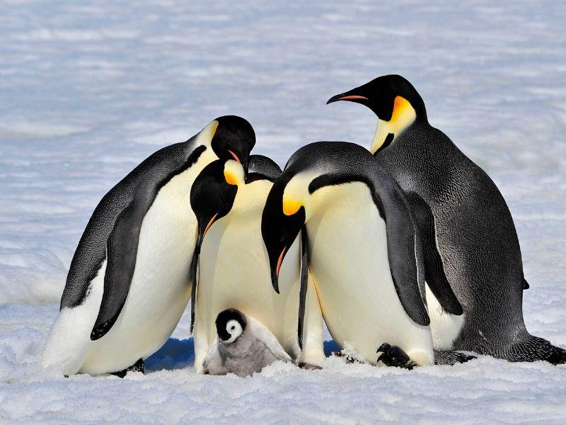 コウテイペンギン(エンペラーペンギン)の習性